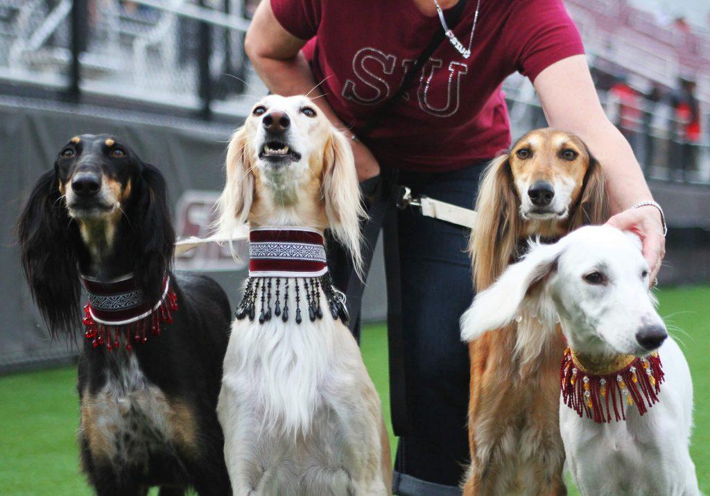 SIU Southern Illinois Salukis dogs live Saluki dog
