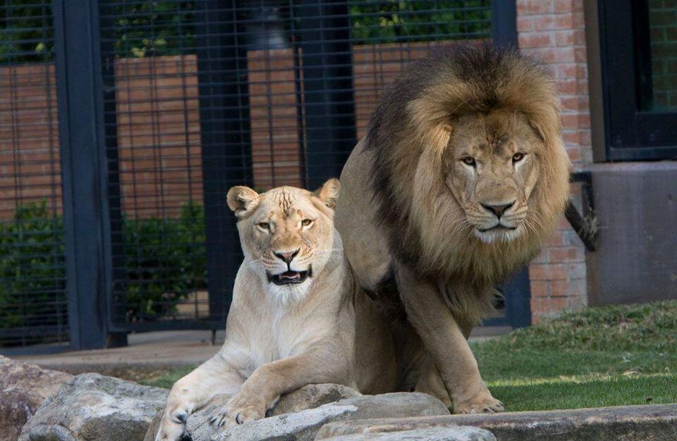 Leo III and Una North Alabama Lions live mascot