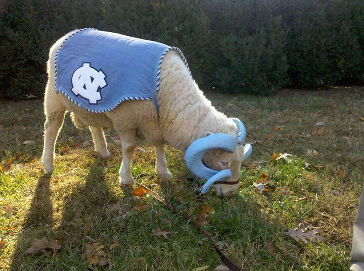 Rameses UNC Tar Heels live mascot